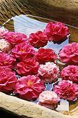 375027 - Camellia (Camellia) in water bowl