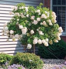 Limelight Hydrangea Tree-lime/green summer flowers transform to pink and burgundy in fall(front yard landscaping) Hydrangea Tree, Limelight Hydrangea, Hydrangea Not Blooming, Hydrangea Paniculata, Hydrangeas, Dwarf Hydrangea, Pink Hydrangea, Front Yard Landscaping, Backyard Landscaping