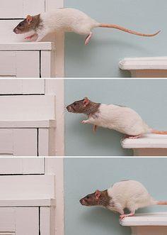 Rat jumping!
