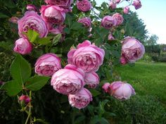 'La Reine Victoria' (1872) Bourbon Rose | Historische Rosen 2010 - Seite 214 - Rund um die Rose - Mein schöner Garten online