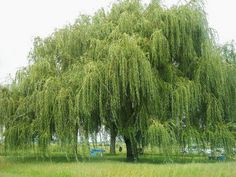 "(10+) Weeping Willow Tree Salix Babylonica  NICE THICK  ROOTED Cuttings 10""-15+"" #Willow"