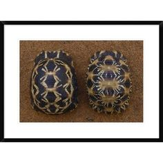 Global Gallery 'Spider Tortoise (Left) and Radiated Tortoise (Right)' Framed Photographic Print Size:
