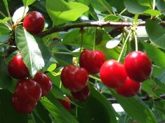 This is the sour cherry it is the most commonly used type of cherry in Magyar cooking.