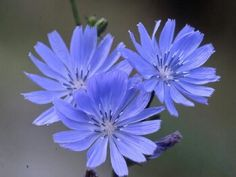 Shop for Chicory Seeds by the Packet .Com offers Hundreds of Seed Varieties, Including the Finest and Freshest Chicory Seeds Anywhere. Blue Flowers, Wild Flowers, Lily Garden, Edible Wild Plants, Wild Edibles, Wildflower Seeds, All Nature, Garden Seeds, Edible Garden