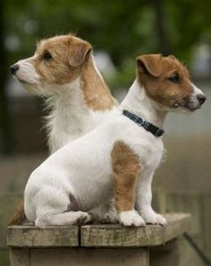 Two Gorgeous Jack Russell Terrier Dogs