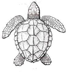 How To Draw A Sea Turtle Life drawing Pinteres