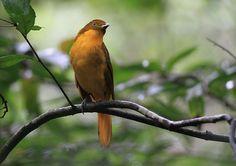 オウゴンニワシドリ 庭師鳥なので あずまや を作って求愛します。