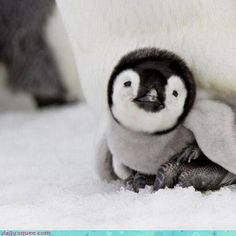 Everyone loves a penguin...especially a baby penguin. Bringing you an 'Awww' to round out your Wednesday! via @TODAY