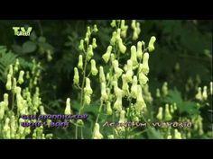 Gele monnikskap - Aconitum vulparia - Wolf's bane - Wolfs-Eisenhut, Gelber Eisenhut - Aconit tue-loup - ranonkelfamilie (Ranunculaceae).  Gele monnikskap bevat een zeer giftige stof die vroeger de dodelijke werking van pijlen en speren verhoogde. Bane, Wolf, Bulbs, Perennials, Flora, Plants, Lamps, Bulb Lights, A Wolf