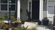 Ένας αλιγάτορας πήγε επίσκεψη σε σπίτι στη Νότια Καρολίνα!