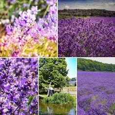 Lavender Love @thehopshop_kent #lavenderfields #lavenderlove #farmfresh #summerdays