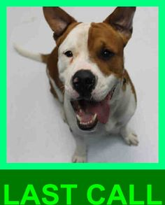 ACE (A1674249) I am a male brown and white American Bulldog mix. The shelter staff think I am about 2 years old. I was found as a stray and I may be available for adoption on 01/26/2015. — hier: Miami Dade County Animal Services. https://www.facebook.com/urgentdogsofmiami/photos/pb.191859757515102.-2207520000.1422695565./918204544880616/?type=3&theater