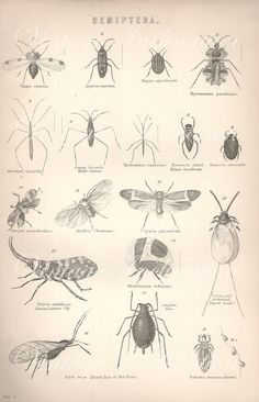 VINTAGE Insect print, insects flying beetles engraving print decor