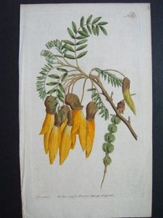 New Zealand Kowhai Sophora Curtis Hand colored copperplate engraving. 235 x 145 mm New Zealand Art, Flowering Shrubs, Botanical Prints, Hand Coloring, Natural History, Fine Art, Antiques, Artist, Flowers