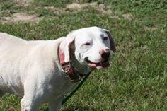 Kyle is an adoptable American Bulldog searching for a forever family near Defuniak Springs, FL. Use Petfinder to find adoptable pets in your area.