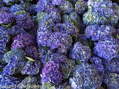 Hydrangea Holland blue lavender Lavender Flowers, Cut Flowers, Hydrangea, Holland, Purple, Blue, The Nederlands, Hydrangeas, The Netherlands