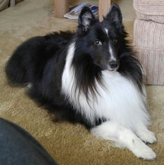 Bi black sheltie - Tap the pin for the most adorable pawtastic fur baby apparel! You'll love the dog clothes and cat clothes! <3