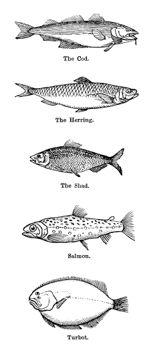 Technical Fish Drawings