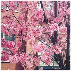 Cherry Blossom Tree Liked On Polyvore Featuring Tattoos My Finds Pinterest Blossoms And