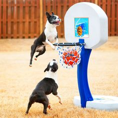 Dogs rule the court during this Boston Terrier slam dunk contest for March Madness!! #basketball #MarchMadness