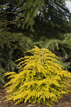 Full shade to part sun - East side of house - Golden Duchess™ Eastern Hemlock…