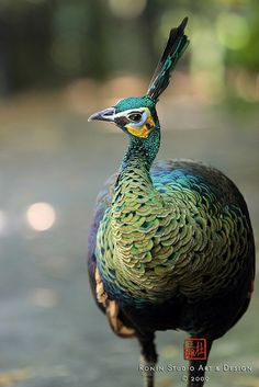 Green Peafowl.