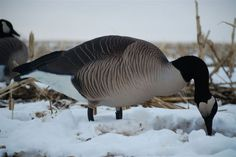 Dave Smith Decoys- Realistic full body decoys for hunting goose, ducks and turkey