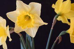Narcissus, Yellow