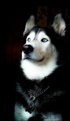 Visit link above to view our fabulous Husky gifts collection. Visit link above to view our fabulous Husky gifts collection. Malamute Husky, Siberian Husky Dog, Husky Puppy, Alaskan Husky, Cute Puppies, Cute Dogs, Dogs And Puppies, Doggies, Huskies Puppies