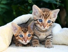 These are toyger kittens