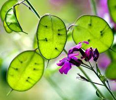 Money Plant, Lunaria Annua