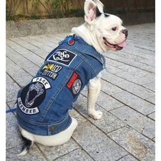 Meet ⚡️ZOSO ⚡️ This total hunk is our first Brazilian Pack Member 🤘🏻🇧🇷 Give him a pawsome welcome 🤘🏻 . Custom Patched Pethaus Denim Vest + Pack member patch 👆🏻 link  www.pethaus.com.au . #frenchie #frenchiesofinstagram #squishyfacecrew #packmember...