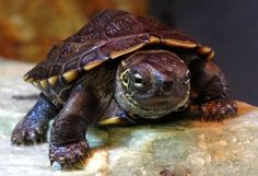 Young Reeve's turtle at Northampton Reptile Centre