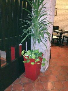 Maceta roja con dracena italiana y teléfono