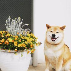 柴犬まる公式@LINEスタンプ絶賛発売中 (@marutaro2000) | Twitter