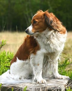 "Kooikerhondje | kooikerhondje_10.jpg-From Wiki- Dutch ancestory, used to lure & drive duck into 'Kooien"" cages, catch vermin, cheerful, friendly, quiet, well-behaved, alert, intelligent, eager to please, wary of strangers, high energy, good in apts w/proper exercixe, have tendency to gain weight, colors red/white, weigh 20 - 40 lbs, live 12 - 14 yearsl"