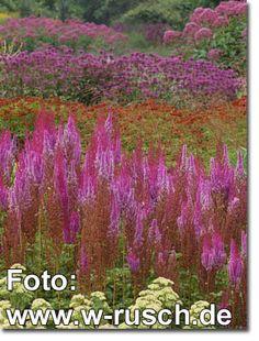 Staudenfoto zu Astilbe chinensis var.taquetii 'Purpurlanze' (Garten-Kerzen-Spiere)