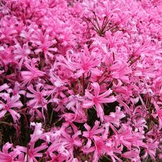 Another gift from South Africa, Nerine blooms in a froth of wavy pink petals late in the gardening season when an extra color boost is most welcome. The plant p