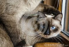 #cats Download Siamese Cats Stock Image for free or as low as 0.69 lei. New users enjoy 60% OFF. 21,252,904 high-resolution stock photos and vector illustrations. Image: 37232131