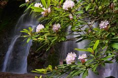 rhododendron in The Smokies