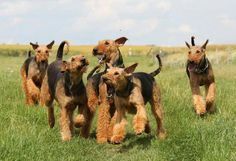 Now THAT'S A PACK OF AIREDALES!!