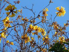 Tabebuia trees are now my favorites . . . and I LUV them!  Especially against a deep blue Winter Park, Florida, winter sky!  Northerners, are you jealous?  Yep, you should be!  :-) #tabebuia #yellowtabebeuia #gold #yellow #bluesky #iluvwinterpark #winterparkfl