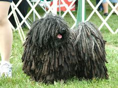 Hungarian Puli.  Yes, this is a dog.  I love it.  It's a mop that's alive!