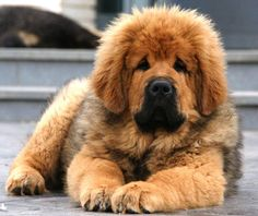 Tibetan Mastiff Puppy @Jill Meyers Meyers Meyers Meyers Flecknell  This look like a dog you would love!