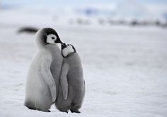 We provide Thousands of cute animal pictures, gifs, videos on demand! Penguin Love, Cute Penguins, Penguin Craft, Cute Baby Penguin, Happy Penguin, Cute Funny Animals, Cute Baby Animals, Animals And Pets, Cute Animal Pictures