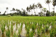 Go back to nature!  Let's take a walk in the morning in to the rice field and feel the refreshing air.  Anapuri Villas is a complete package of beach, river, and mountain view. Furthermore, with the rice field makes Anapuri Villas is such a heavenly place to stay...