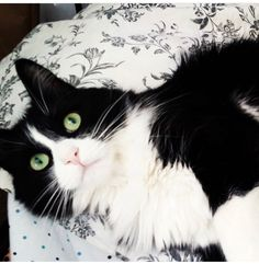 fluffy Michael is an adoptable maine coon searching for a forever family near Houston, TX. Use Petfinder to find adoptable pets in your area.