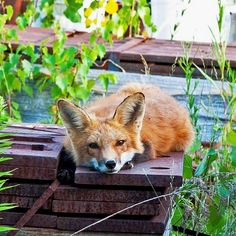 Like foxes? Shop at FoxFanWorld Com! 💖    Caption the pic! :)  #FoxFanWorld    #Foxes #Foxlove #Foxlovers