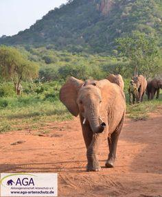 Nach dem die Elefantenwaisen den Tag im Nationalpark verbracht haben, kehren sie am Abend zur Ithumba-Auswilderungsstation zurück. Nairobi, Elephant, Animals, 3 Year Olds, Elephants, National Forest, Animales, Animaux, Animal