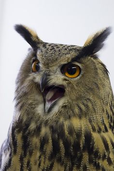Eurasian Eagle Owl // Grand-Duc d'Europe -